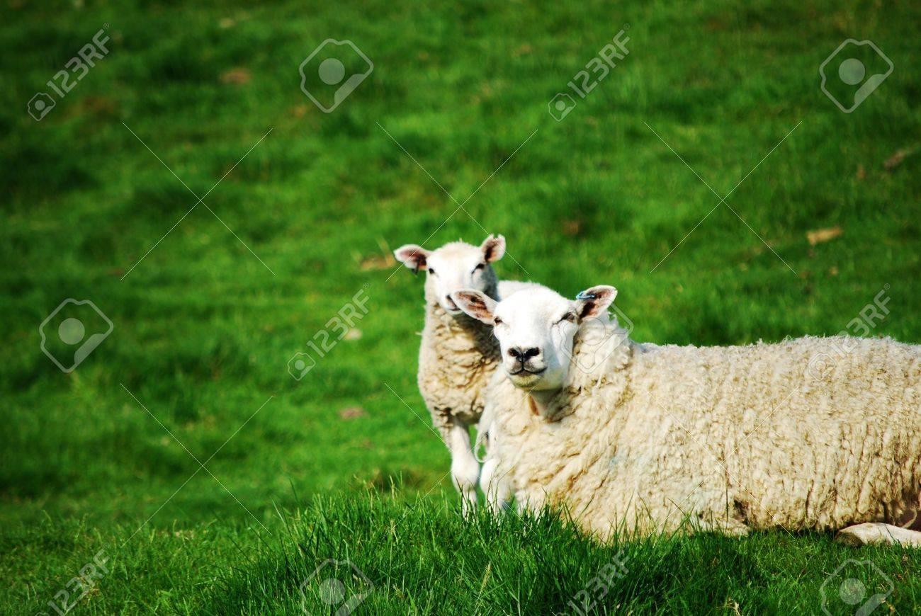 Sheep and lamb - 10880415