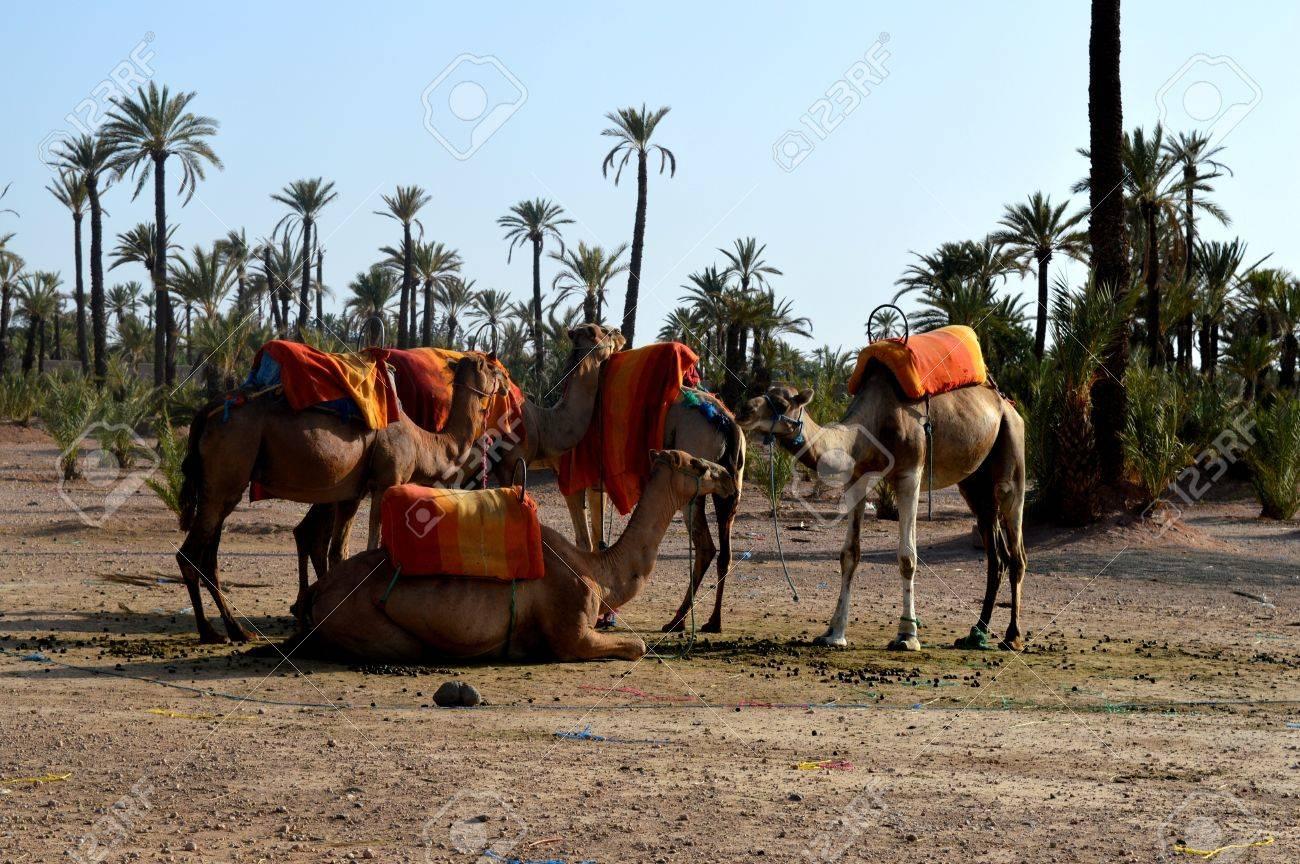 A Caravan Of Camels. Camel Caravan Rests Before Being Sent On ...