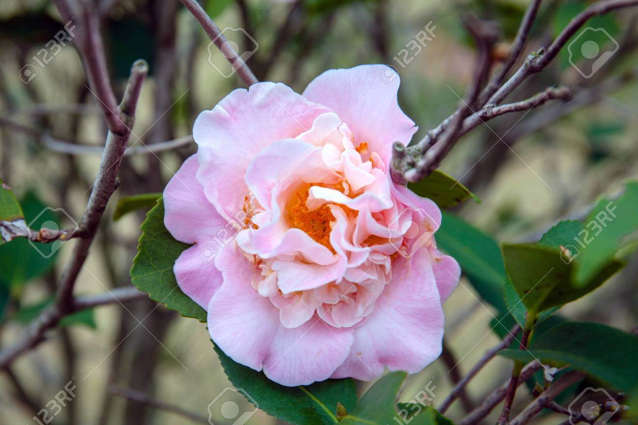 Pink Camellia Flower Blooming In The Garden Stock Photo Picture And
