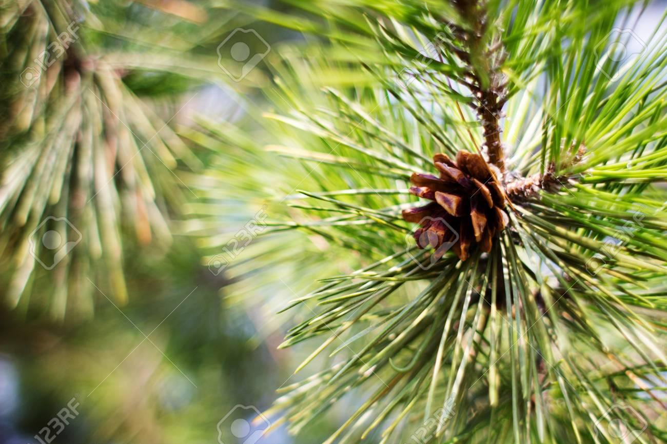 pine cone - 15608546