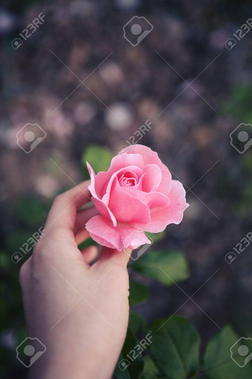rose - 15906723