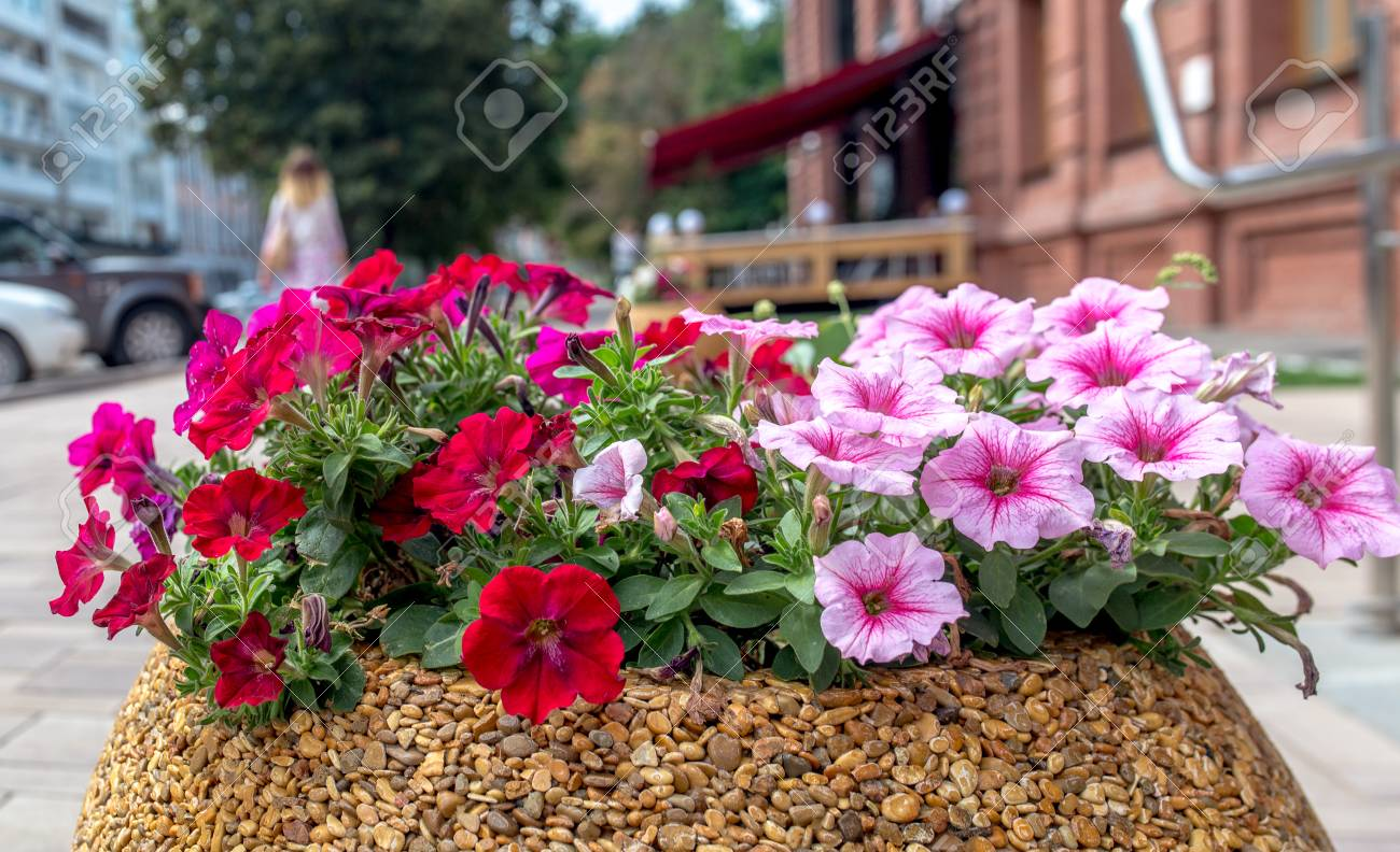 Pink Petunia Flowers On A City Flower Bed On Summer Sunset Stock Photo Picture And Royalty Free Image Image 83473511