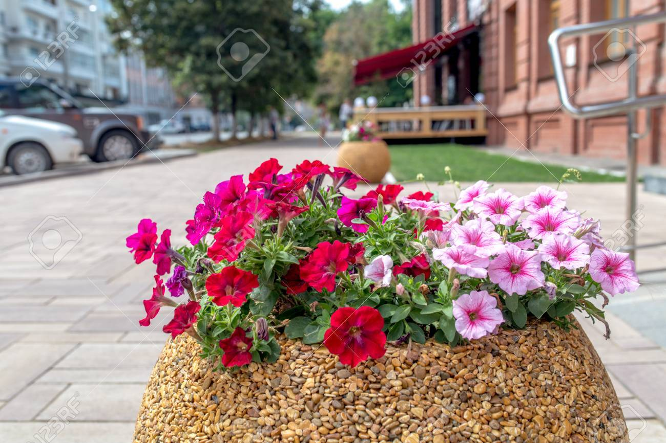 Pink Petunia Flowers On A City Flower Bed On Summer Sunset Stock Photo Picture And Royalty Free Image Image 83473512