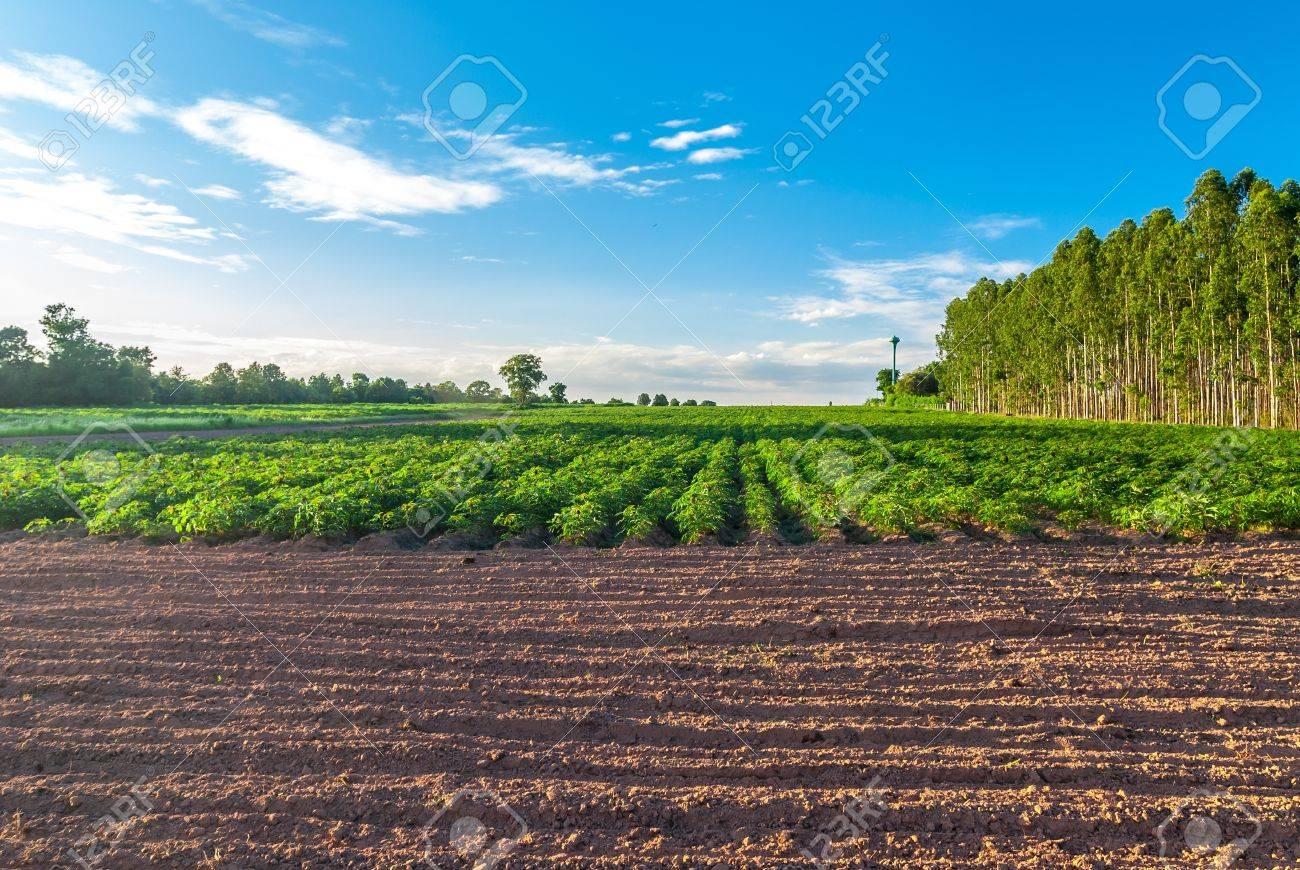 Cassava  Manihot esculenta  L   Crantz Stock Photo - 14321490
