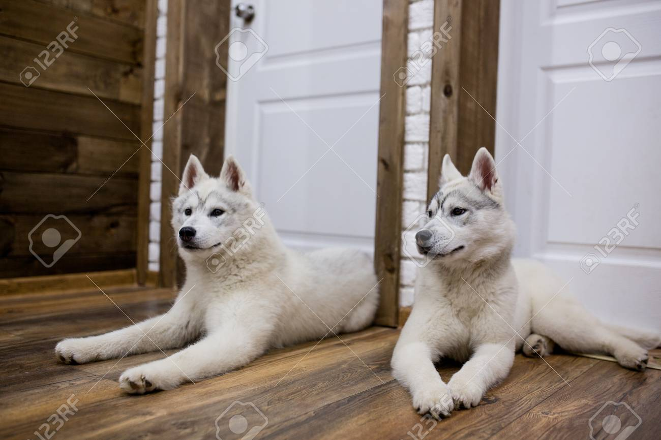 Two Siberian Husky Puppies At Home Sit And Play Lifestyle With Stock Photo Picture And Royalty Free Image Image 77974528