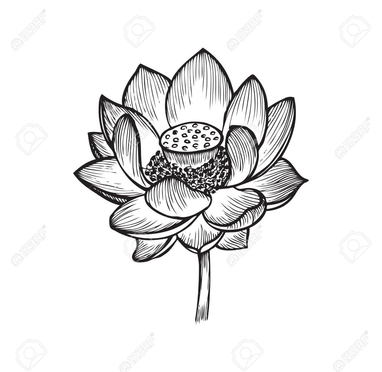 The Lotus Flower Black And White Vector Illustration Royalty Free