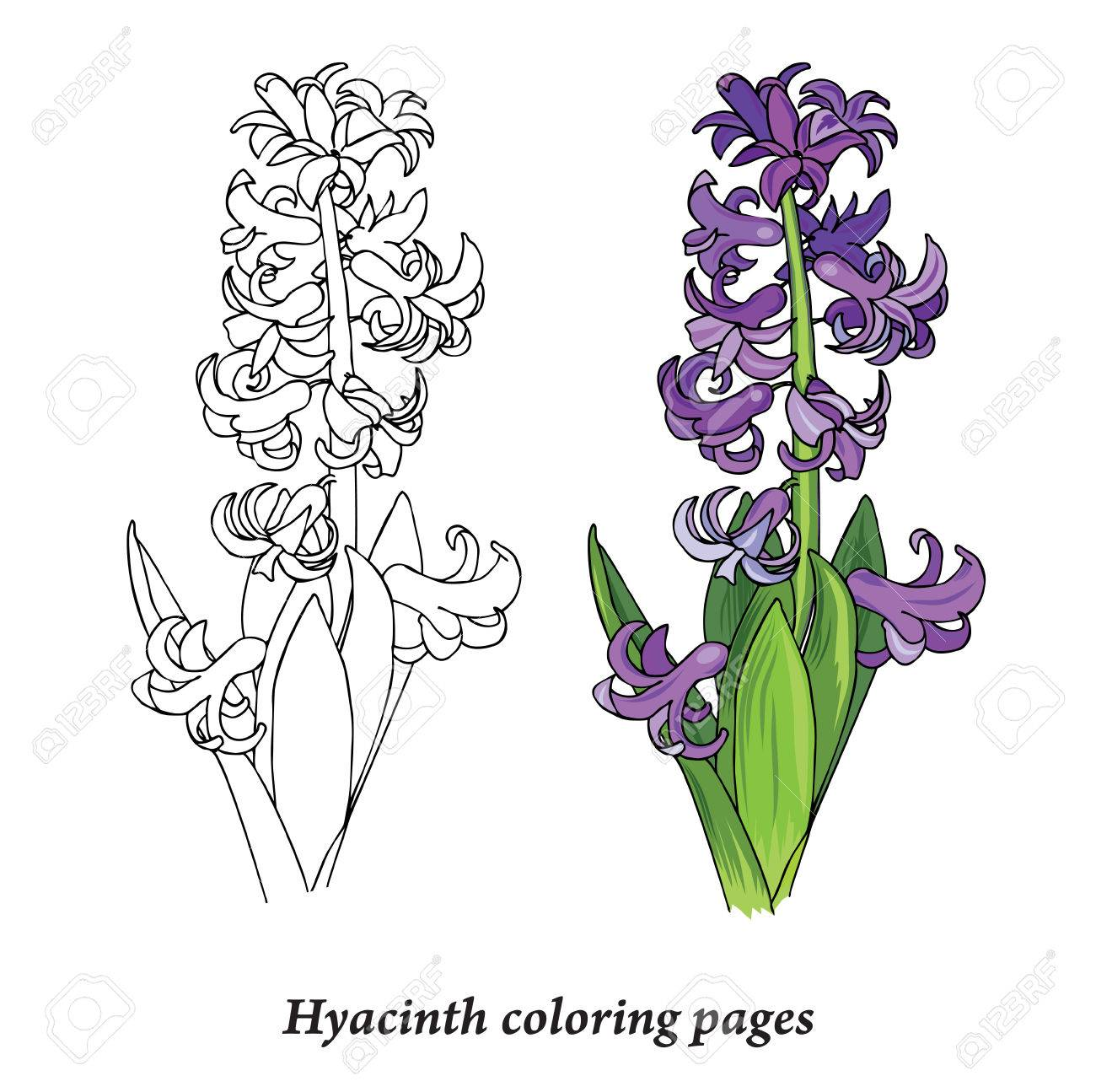 Hyacinth Coloring Pages Spring Flower Bulbous Plant Vector