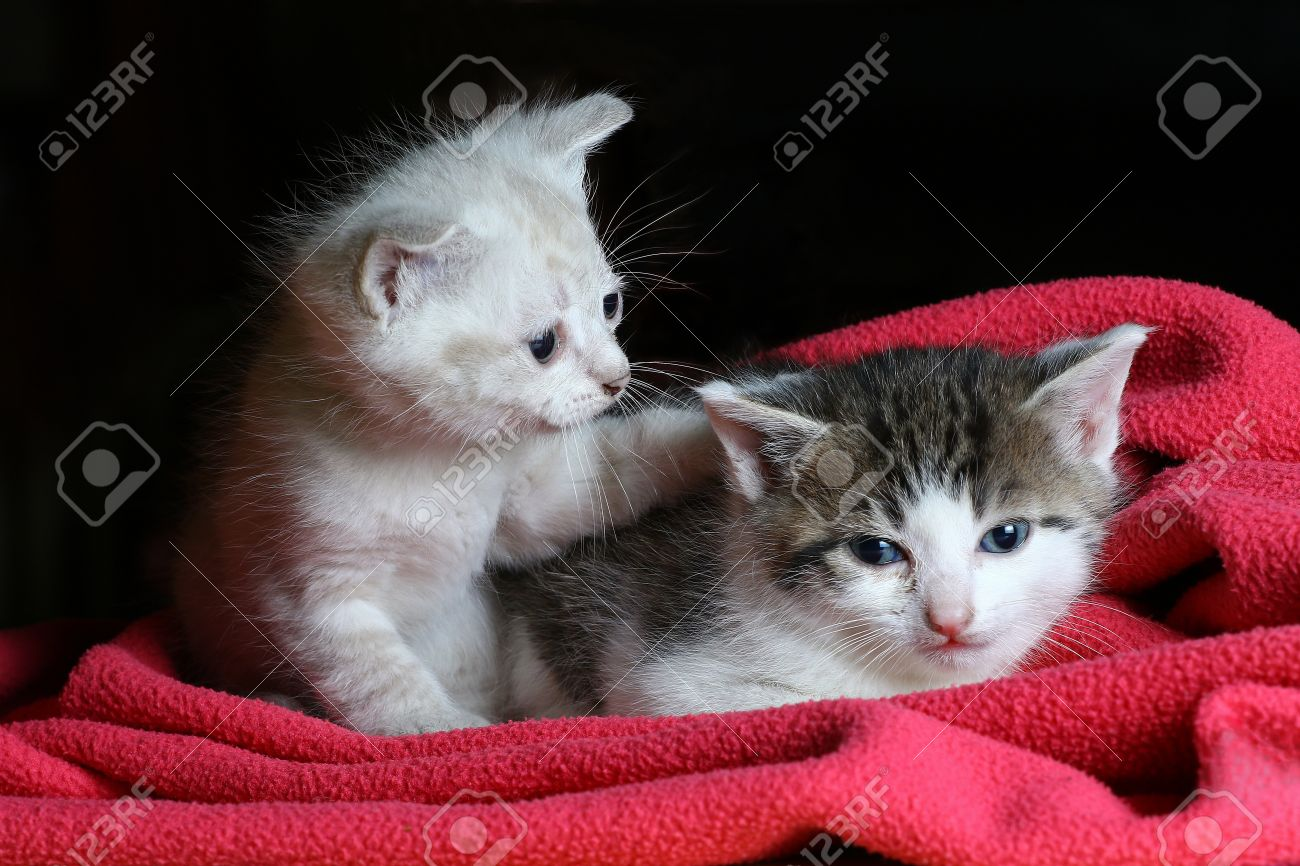 Baby Cats Two Little Kittens Cuddling A Pink Blanket With