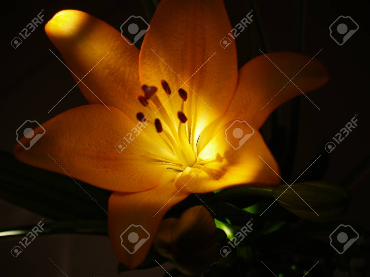 Zephyranthes lily flower common names for species in this genus stock photo zephyranthes lily flower common names for species in this genus include fairy lily rainflower zephyr lily magic lily atamasco lily izmirmasajfo