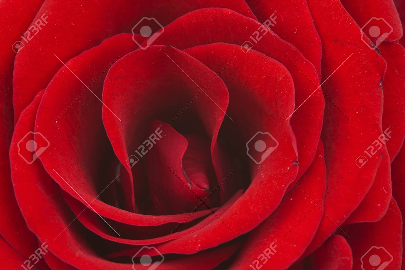 red rose Stock Photo - 13180958