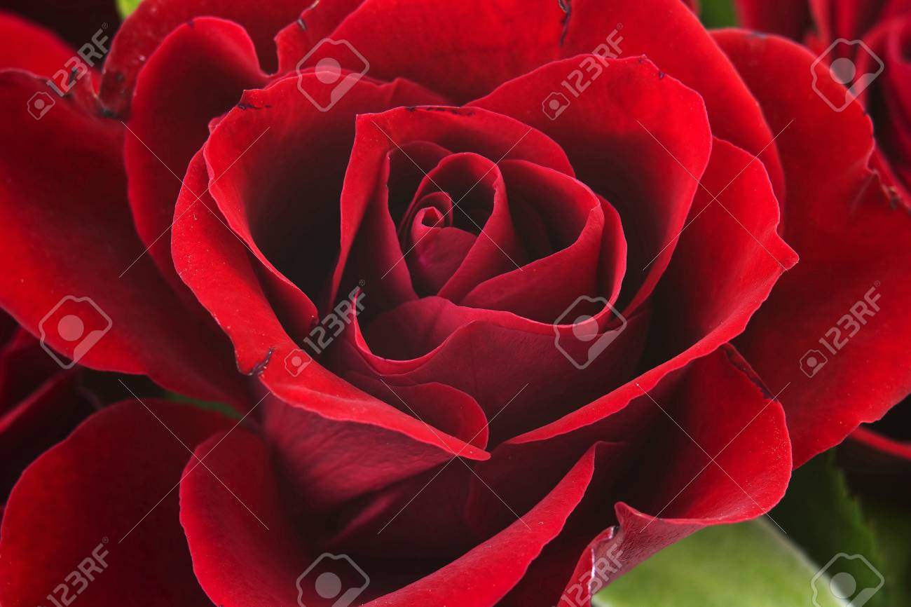 red rose Stock Photo - 16183505