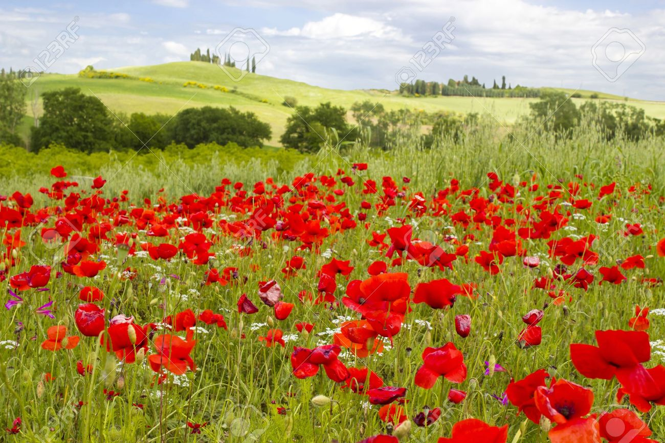 spring in Tuscany, landscape with poppies Stock Photo - 19978721