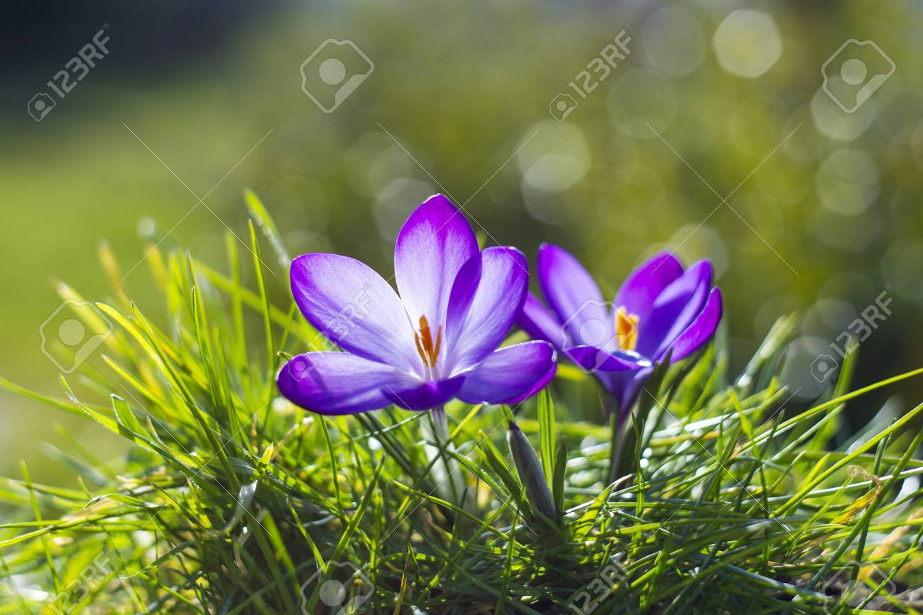 Crocus One Of The First Spring Flowers Stock Photo Picture And
