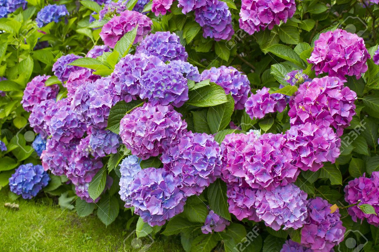 Como Cuidar Las Hortensias De Exterior. Gallery Of Hortensias With ...