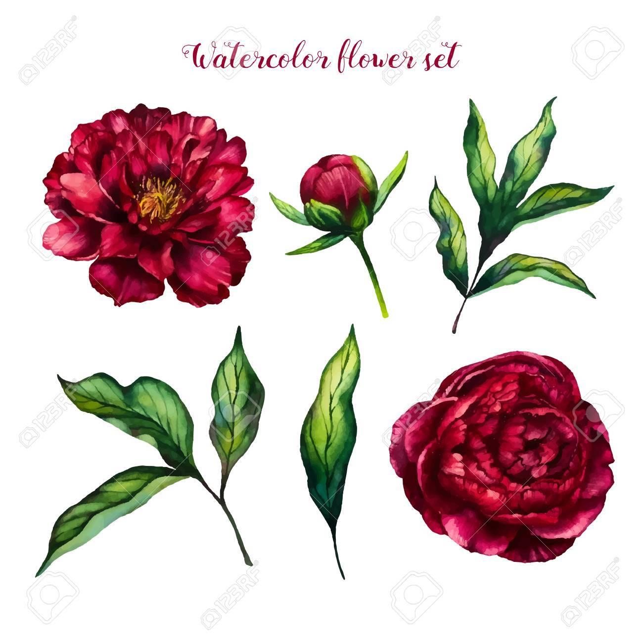 Watercolor Flower Peony, Flowers And Leaves Peonies, Watercolor Rose ...