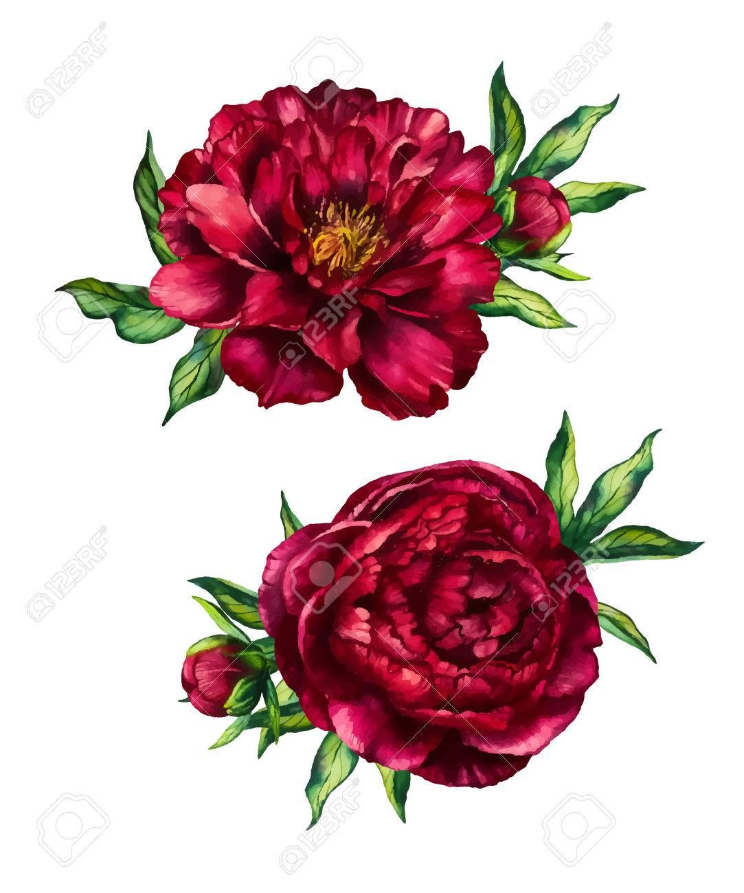 Set Aquarell Roten Pfingstrosen Blumensträuße, Blumenpfingstrose, Aquarell  Rose Mit Auf Weißem Hintergrund Blätter,