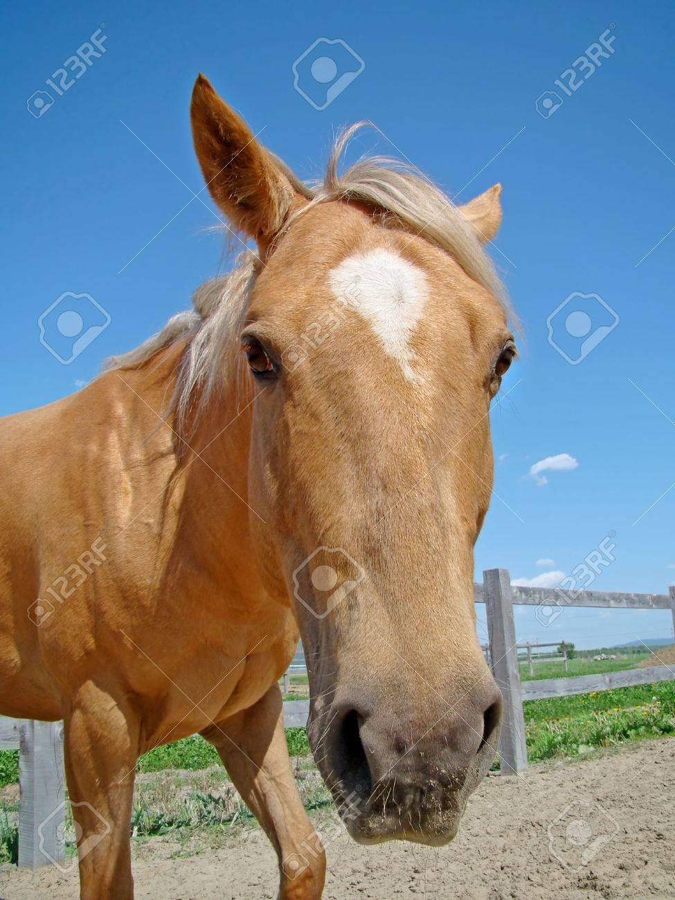 Funny Angle Shot With Fisheye Distortion Of A Golden Palomino Stock Photo Picture And Royalty Free Image Image 6977406