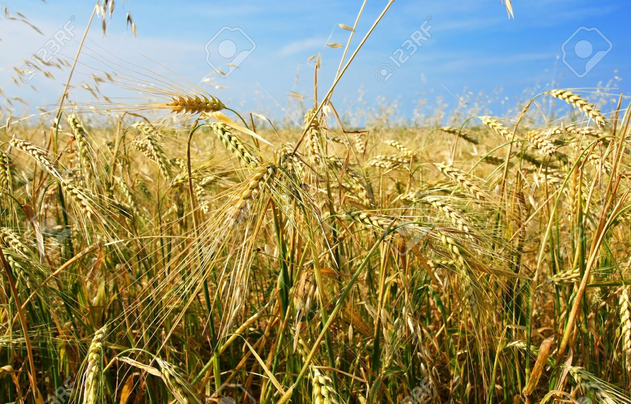 Beautiful barley and oat field with cereal plant growing in all directions, chaos concept. Stock Photo - 7565984