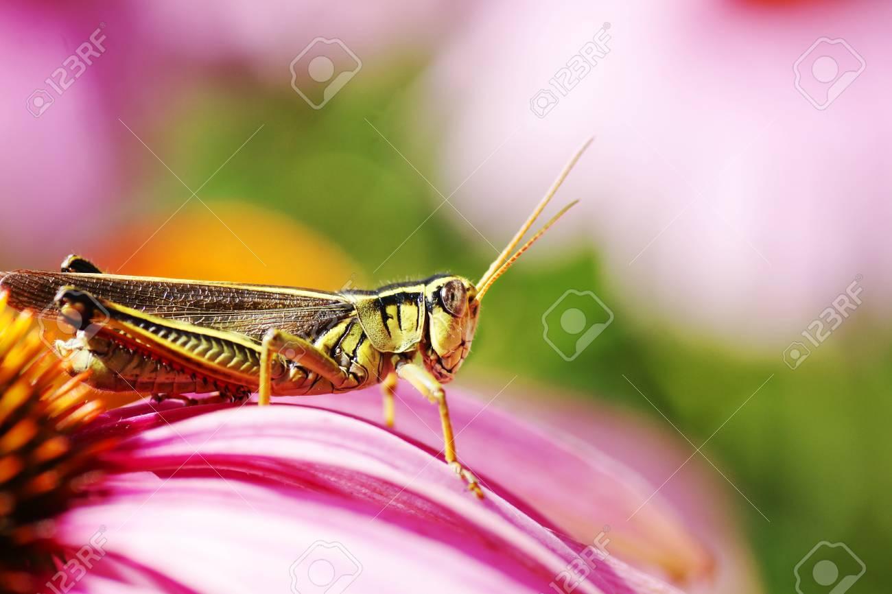 great detail macro shot of a red-legged grasshopper, melanophus