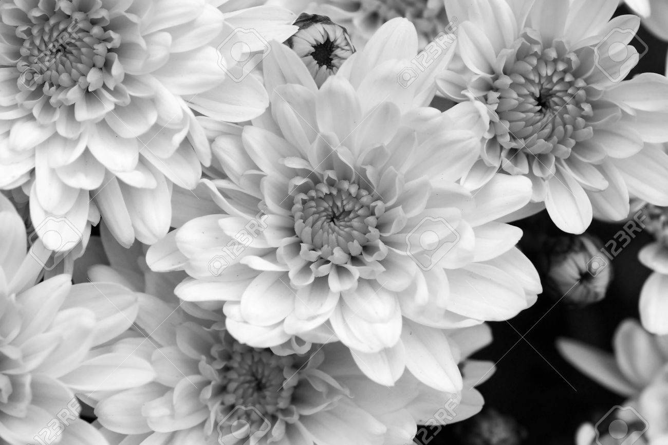 Black And White Mums Flowers Beautiful Floral Background Stock