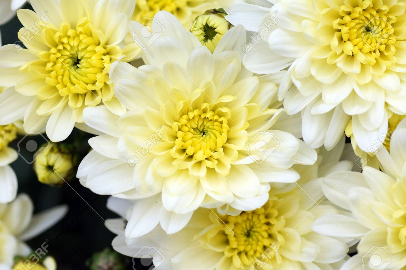 White And Yellow Mums Flowers Beautiful Floral Background Stock