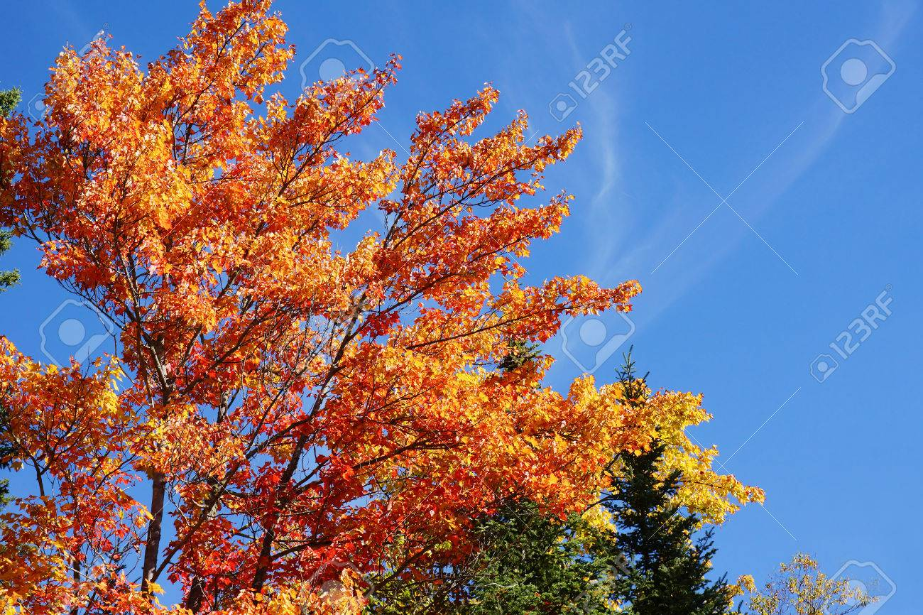 Beautiful Orange And Red Leaves Of A Sugar Maple Tree Acer