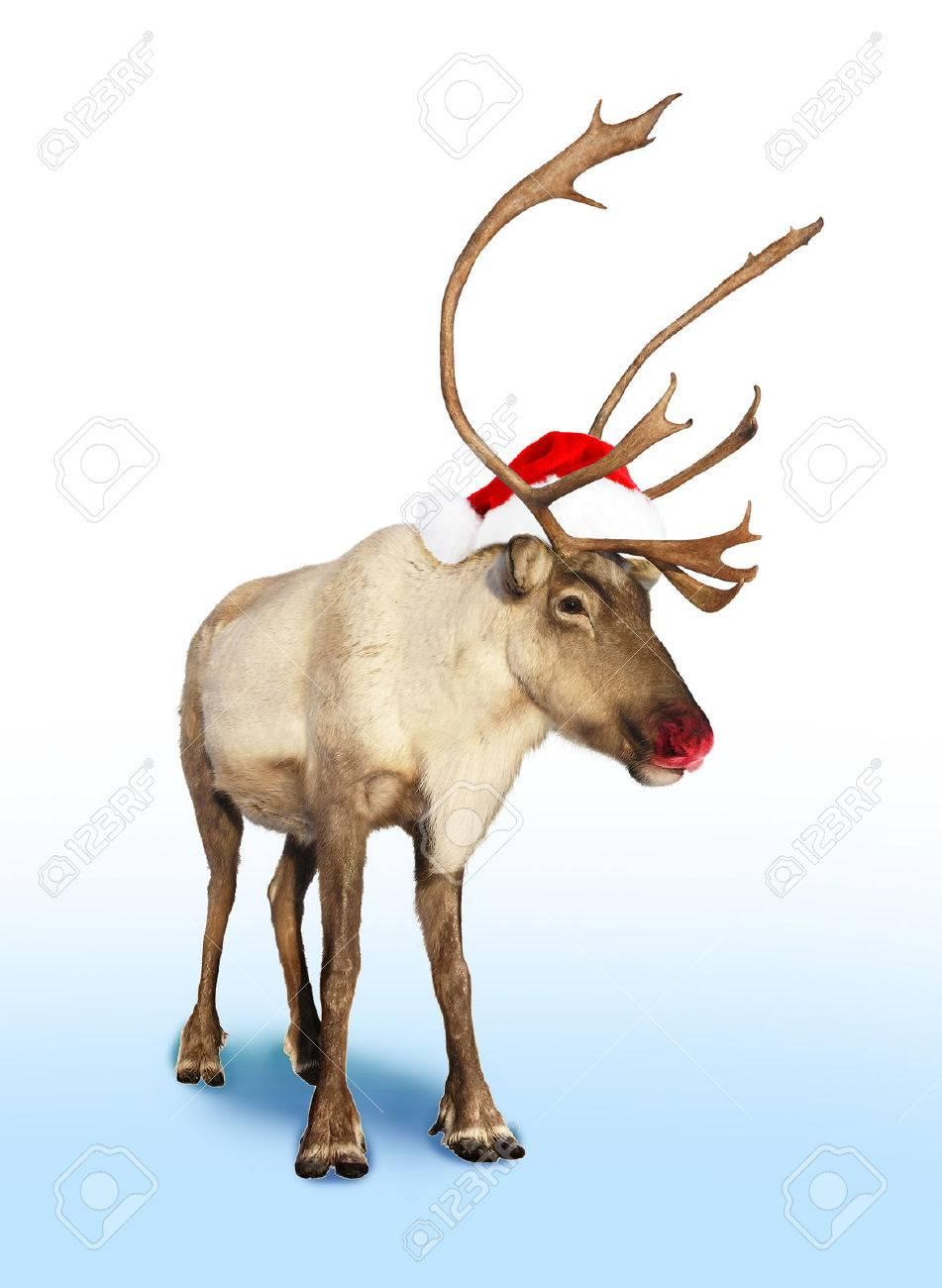 Rudolph La Renna Di Babbo Natale.Immagini Stock Rudolph Naso Rosso Di Renna O Caribu Con Cappello