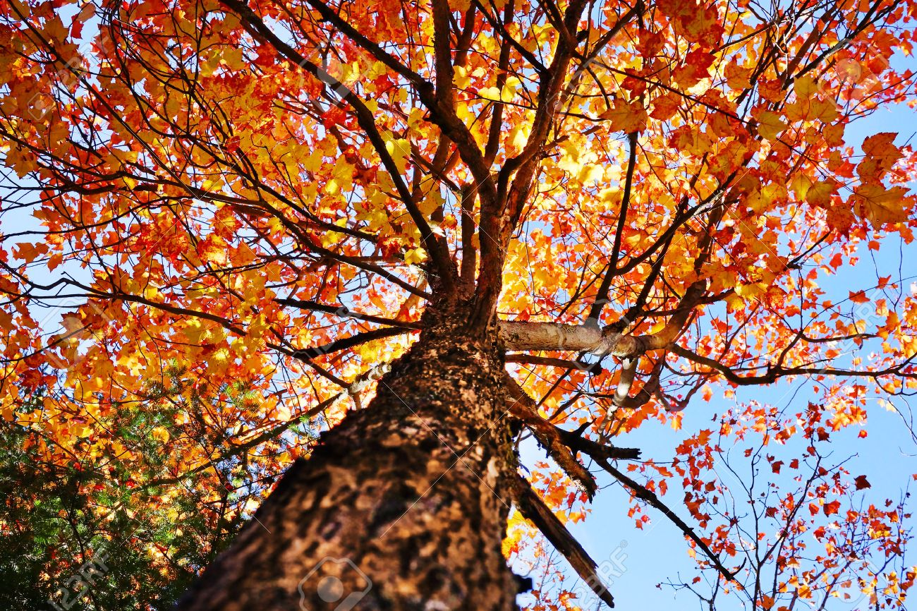 Looking Up Under A Sugar Maple Tree During The Fall Or Autumn