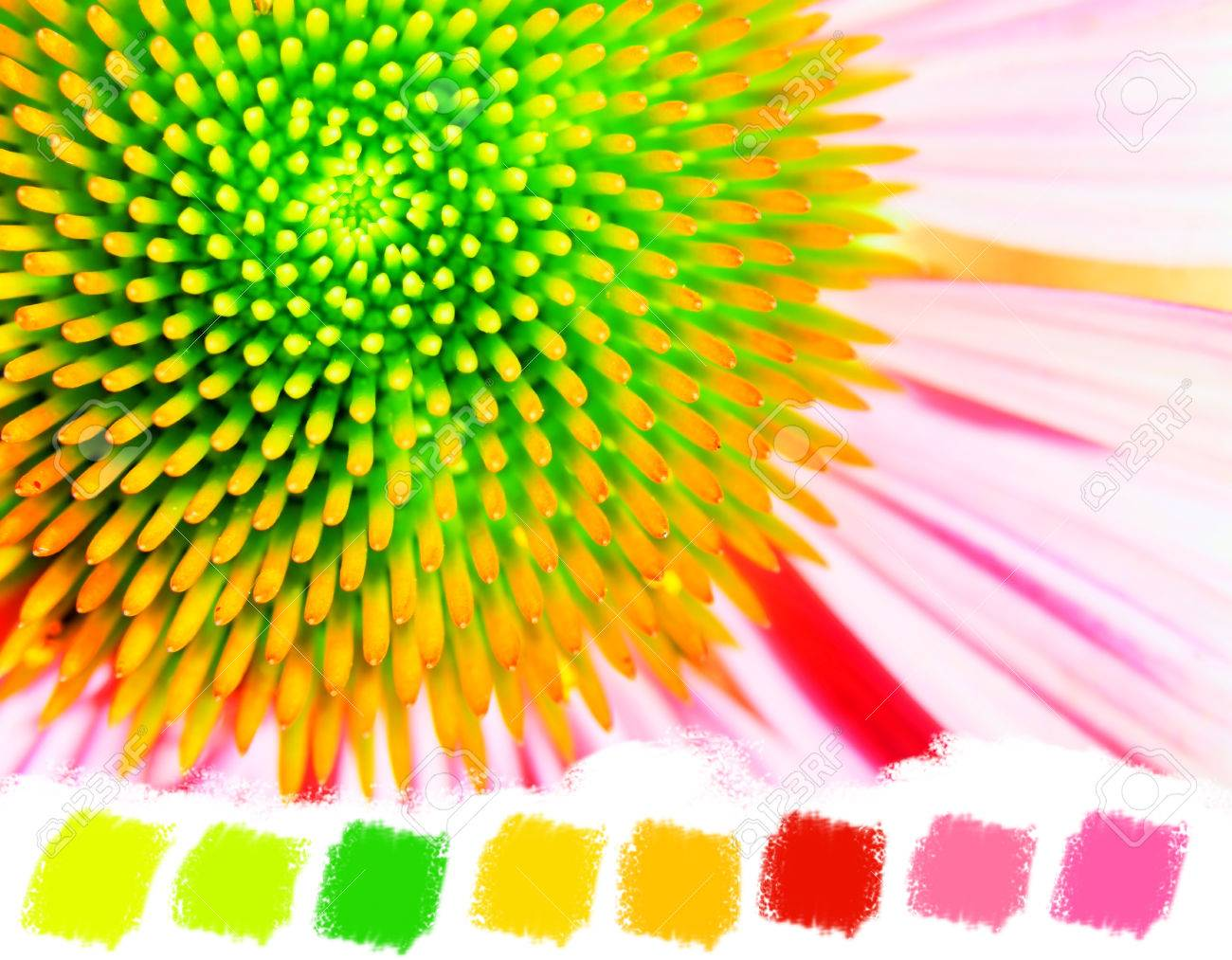 Bright Echinacea Or Purple Coneflower Green Yellow Orange And Pink Color Palette Stock