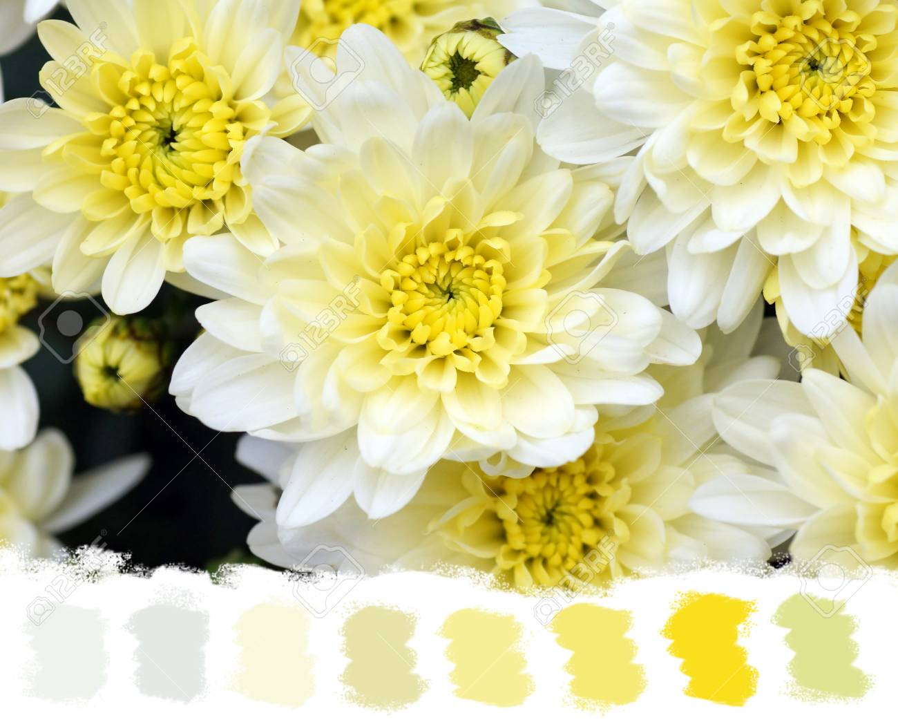 White and yellow mums flowers beautiful and soft color palette stock photo white and yellow mums flowers beautiful and soft color palette mightylinksfo