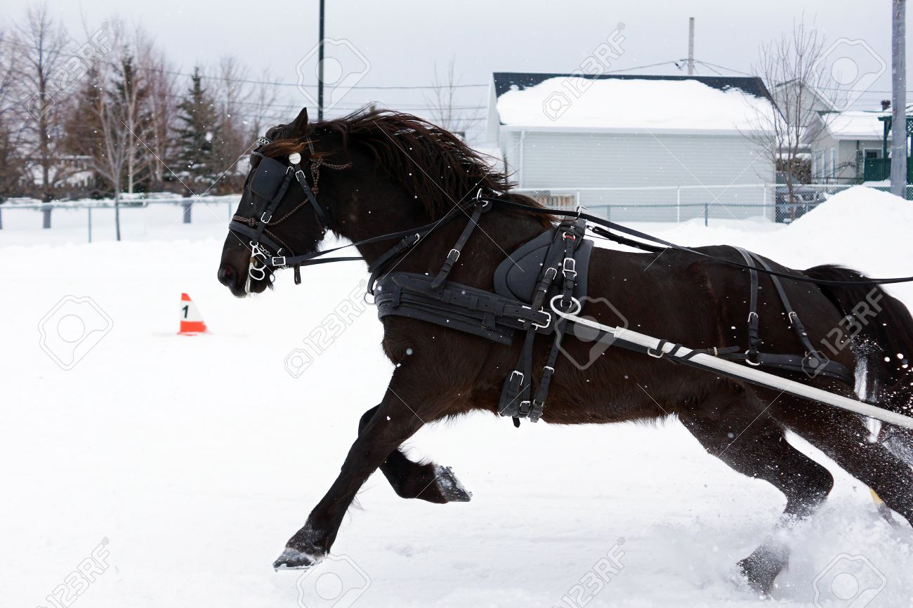 canadian horse pulling sleigh in winter stock photo picture and
