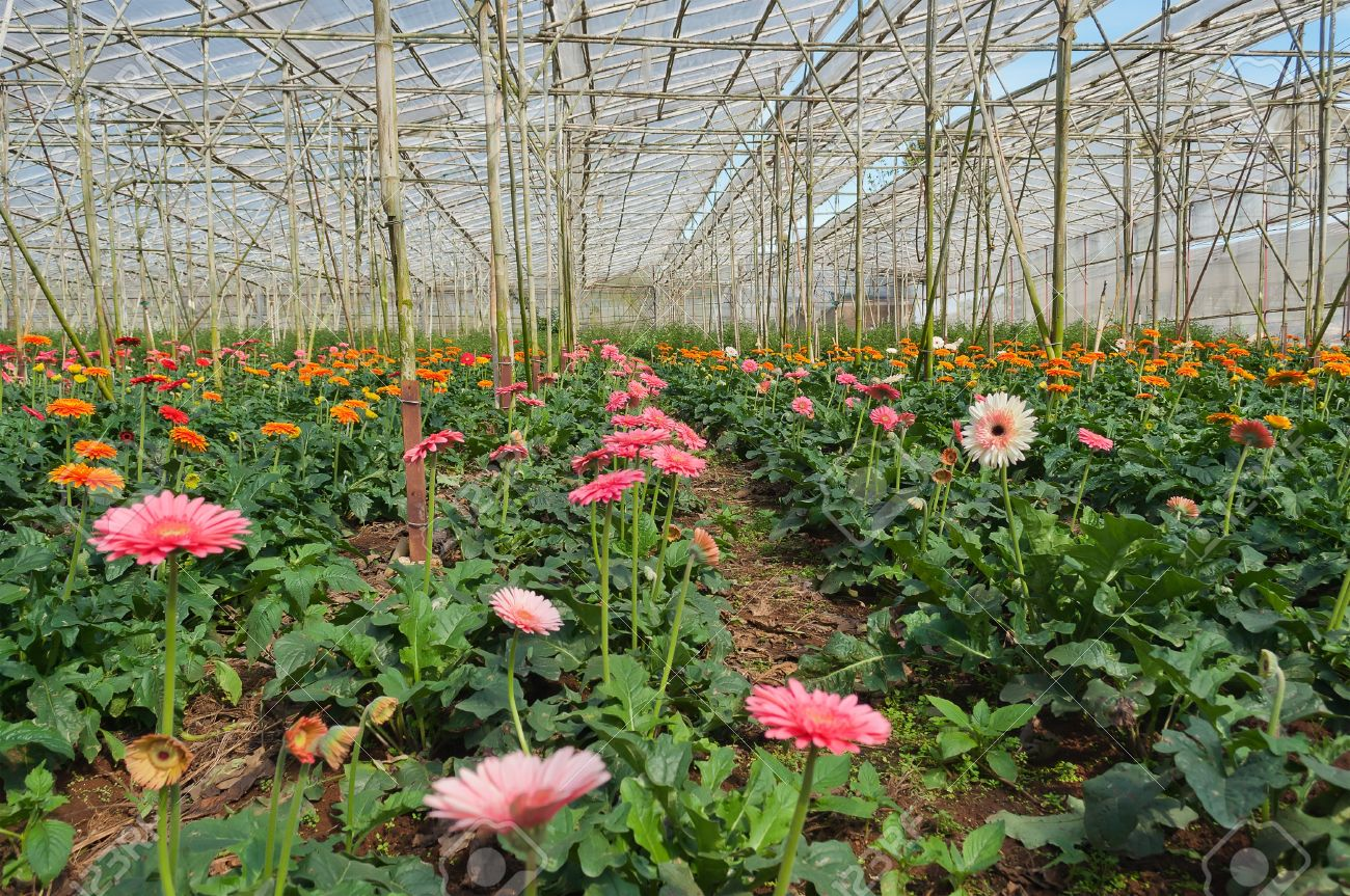 Gerbera In Greenhouse Flowers Plantation In Da Lat Vietnam Stock Photo Picture And Royalty Free Image Image 20191704