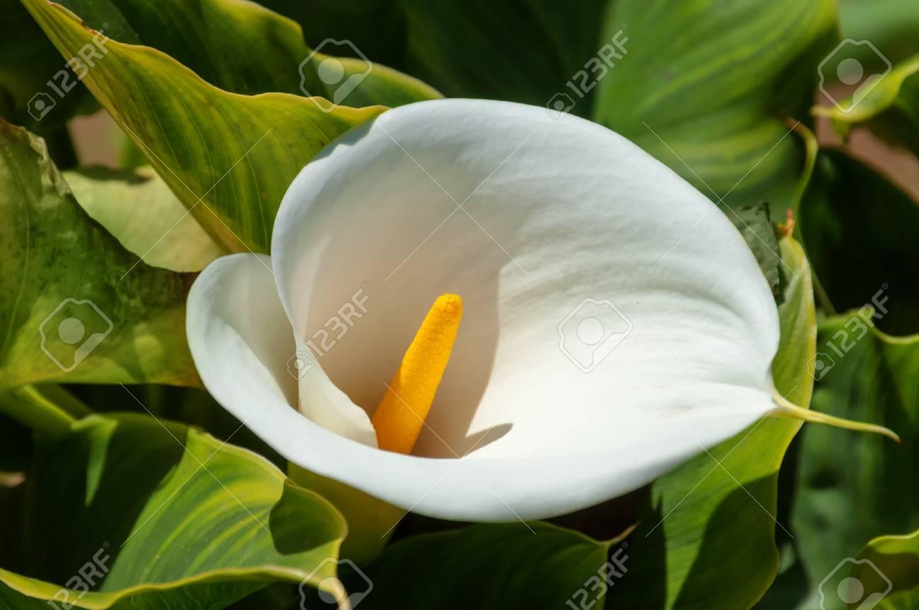 White calla lily flower on the garden stock photo picture and stock photo white calla lily flower on the garden izmirmasajfo
