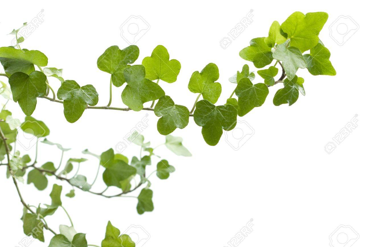 Image of the branch ivy on a white background Stock Photo - 7623421