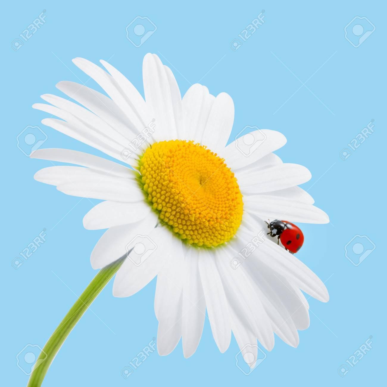 Gaensebluemchen Mit Marienkaefer Weisser Hintergrund