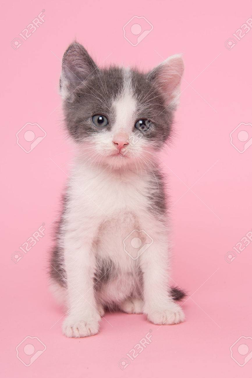 Cute Sitting Grey And White Kitten Baby Cat On A Pink Background ...