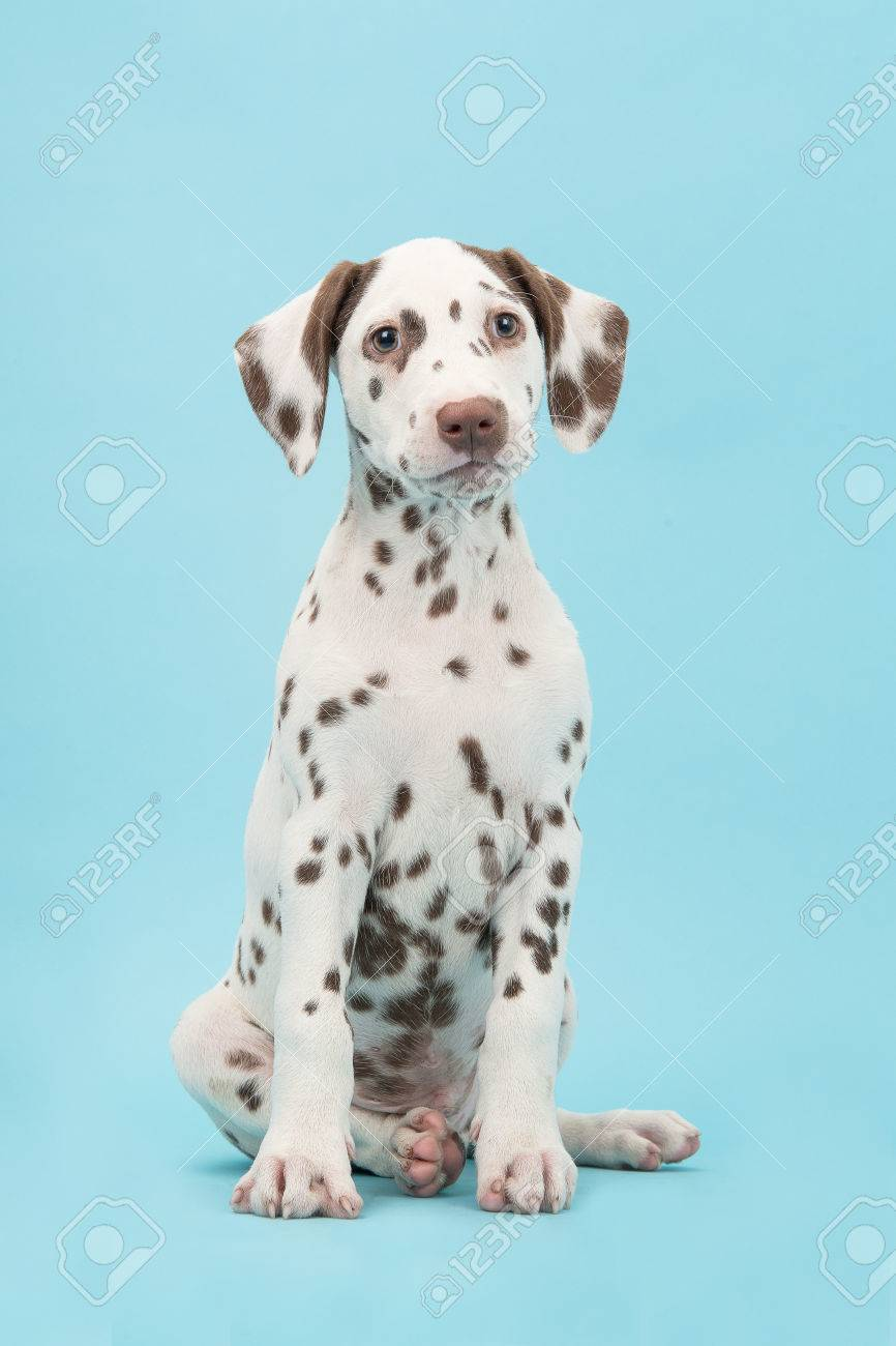 Dalmacademys Dalmatians  Breed faults