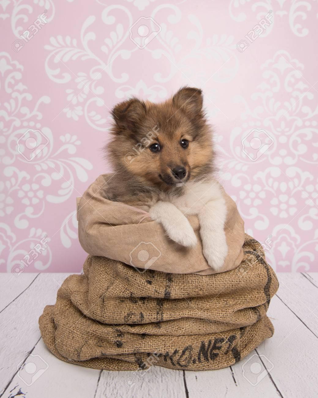 Netter Shetland-Schäferhund-Welpen-Hund In Einer Tasche In Einem ...