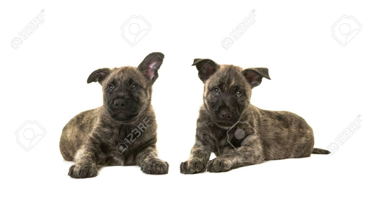 Two Dark Cute Wirehaired Dutch Shepherd Puppy Dogs Lying Down ...