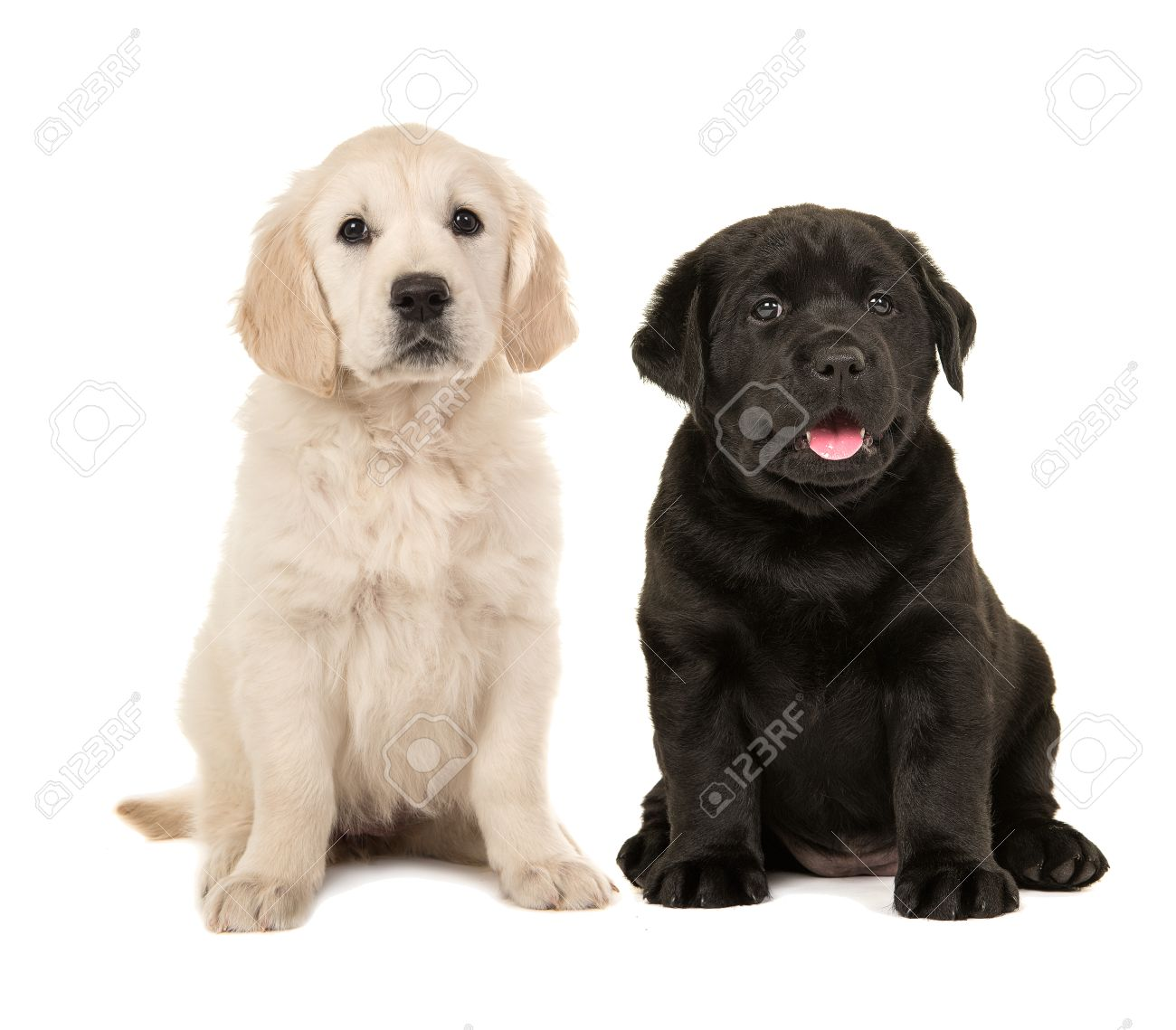 Favorito Cute Blond Golden Retriever Puppy And Black Labrador Retriever  EC68