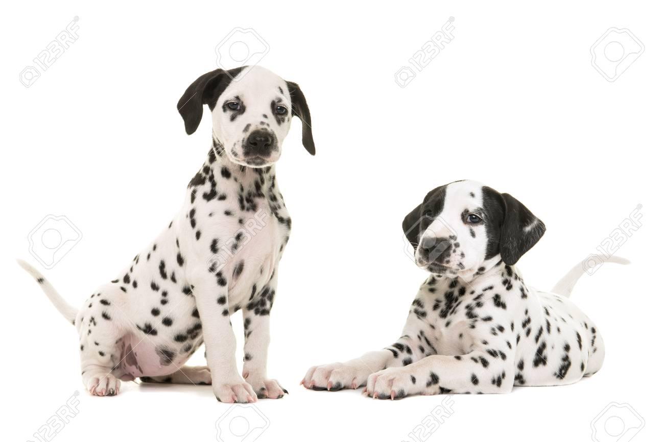 Immagini Stock Due Cuccioli Di Cane Dalmata Svegli Che Si Siedono