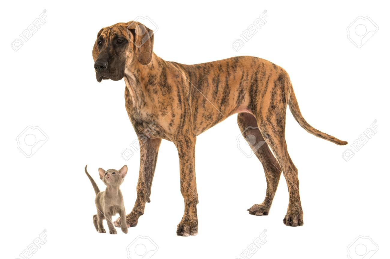 Small Cute Siamese Baby Cat Looking Up To A Large Great Dane Stock Photo Picture And Royalty Free Image Image 69513303