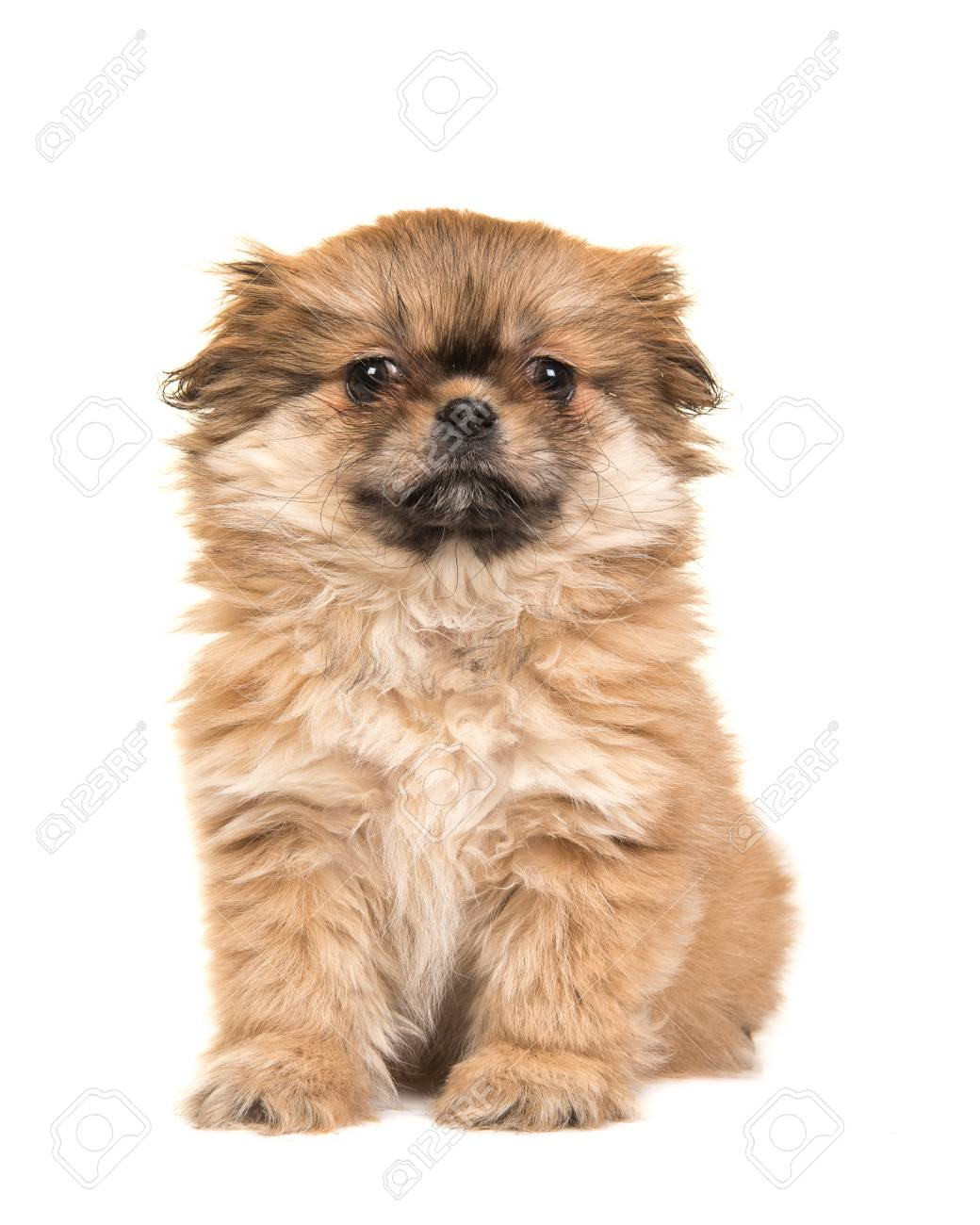 Cute Sitting Fluffy Tibetan Spaniel Puppy Facing The Camera Isolated Stock Photo Picture And Royalty Free Image Image 71799781