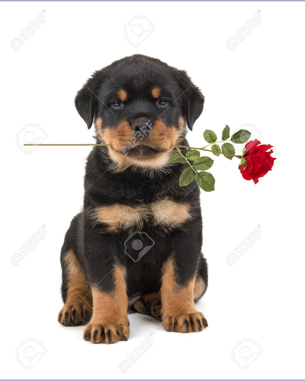 Sitting Rottweiler Puppy Facing The Camera Holding A Red Rose