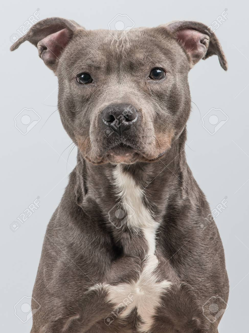 portrait of a grey pitbull terrier at a grey background stock photo
