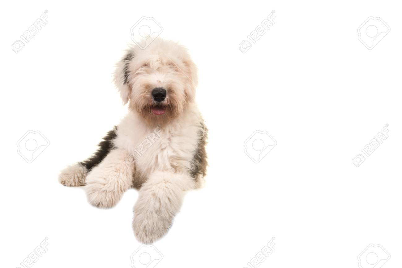 Old english sheep dog young adult lying on the floor seen from the front  isolated on