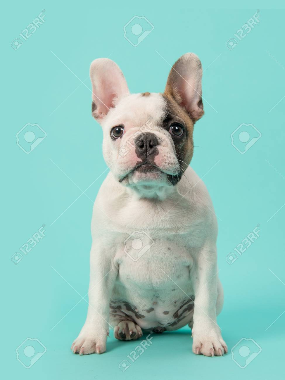 Cute Sitting White And Brown French Bulldog Puppy Facing The
