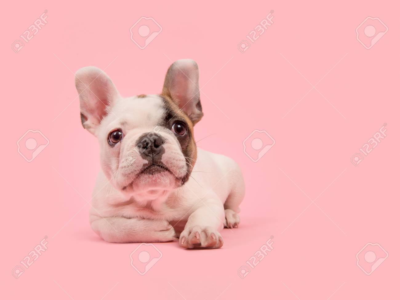 Cute White And Brown French Bulldog Puppy Lying Down Looking Stock