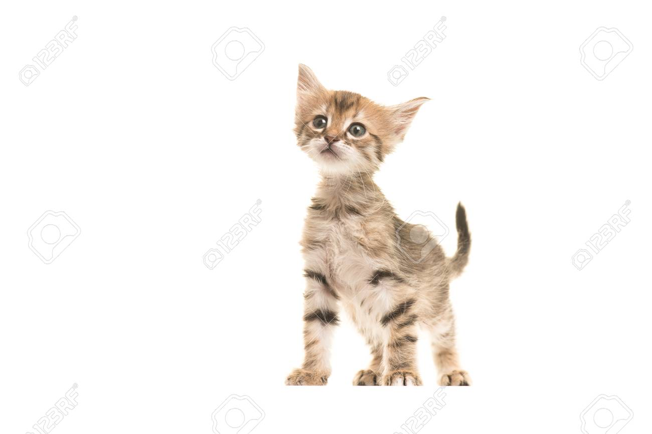 Cute Tabby Turkish Angora Baby Cat Standing Isolated On A White
