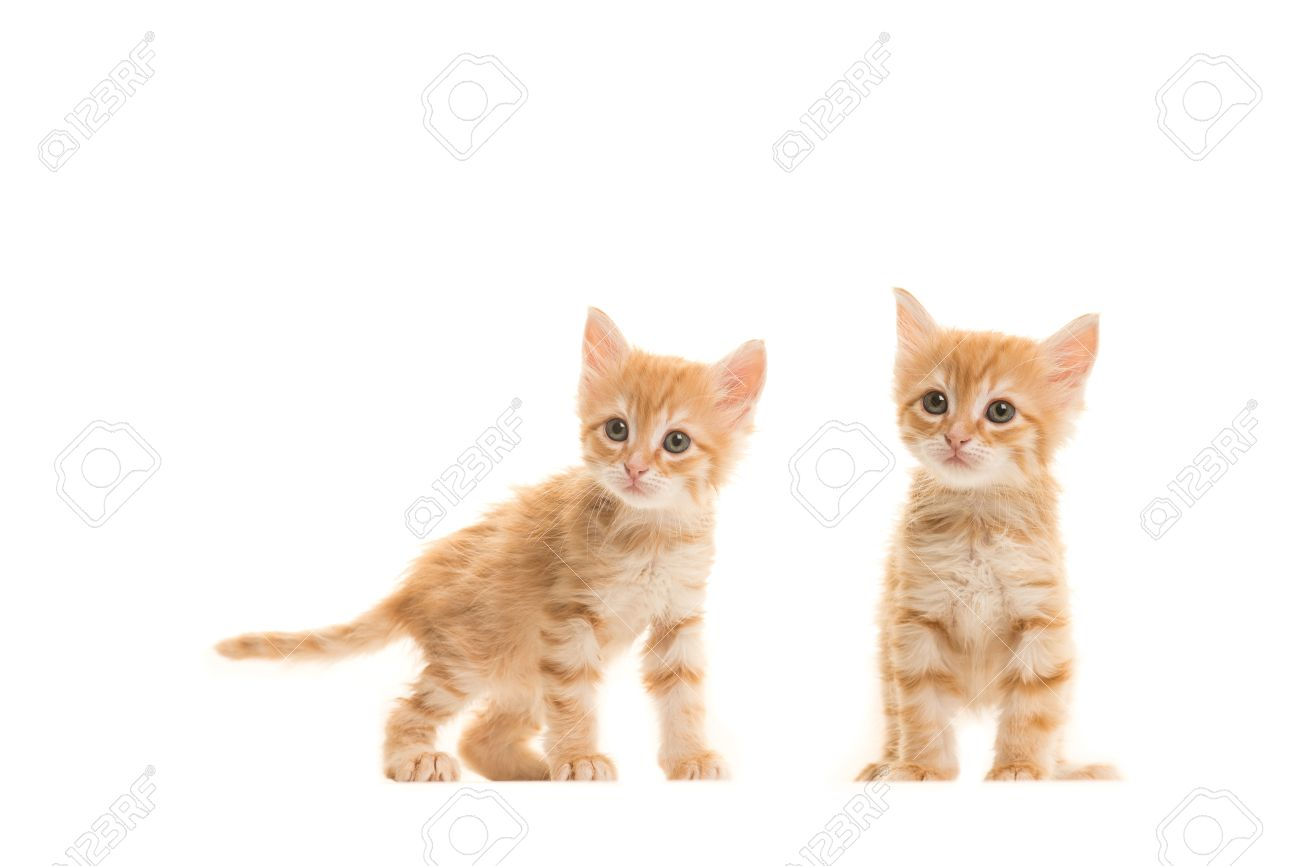 Two Standing Ginger Turkish Angora Baby Cats Isolated On A White